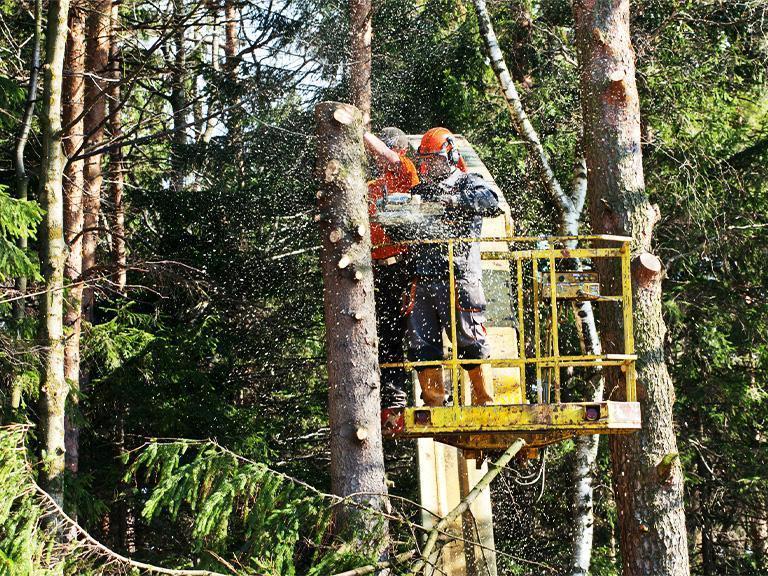 robotnik wycina drzewa